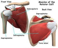 Shoulder anatomy #1